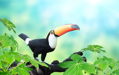 Poster Toekan Horizontal banner with beautiful colorful toucan bird