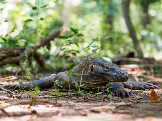 Monitor Lizard on Komodo Island, Indonesia.