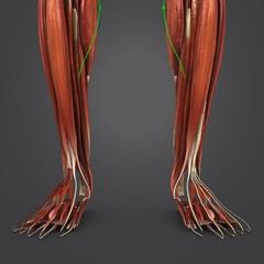 Leg Muscles with Lymph nodes closeup