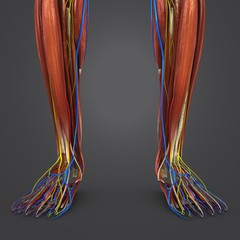Leg Muscles with Circulatory system and Nerves closeup