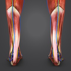 Muscles of Leg with Circulatory system and Nerves Posterior view closeup