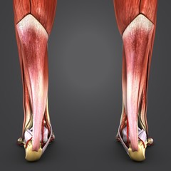 Muscles and Bones of Leg with Arteries Posterior view Closeup