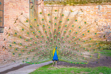 Full body shot of a peacock in a courtyard, with all its feathers.