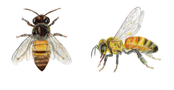 Hand painted illustration watercolor bee. Honey collection for label, template design.
