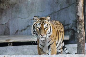 Tiger lookin at you