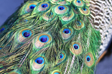 peacock tail detail close up