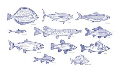 Collection of fish hand drawn with blue contour lines on white background. Bundle underwater animals or creatures living in sea and ocean. Monochrome vector illustration in vintage etching style.