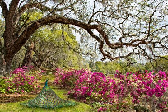 Beautiful bird in blooming garden. Azaleas in bloom under oak tree. Magnolia Plantation and Gardens, Charleston, South Carolina, USA