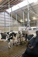 Cattle breeding. Stable. Farming