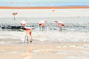 Pink flamingos in the lagoon in plateau Altiplano, Bolivia. Shallow depth of field