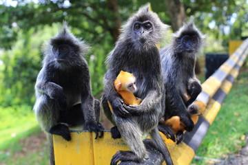 Silvered leaf monkeys with its orange colored babys, Kuala Selangor, Malaysia