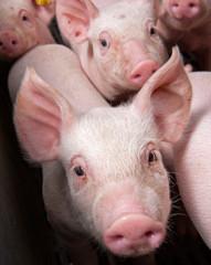 Pigs breeding. Piglets.