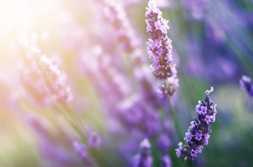 Provence nature background. Lavender field in sunlight with copy space. Macro of blooming violet lavender flowers. Summer concept, selective focus