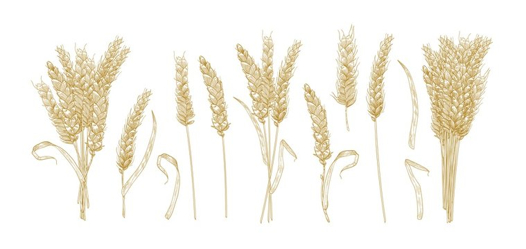 Collection of drawings of wheat ears isolated on white background. Set of hand drawn parts of cultivated cereal plant, natural decorative design elements. Vector illustration in elegant vintage style.