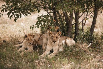 Lions resting on grassy field