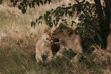 Lions grooming on grassy field
