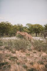 Giraffe at Etosha
