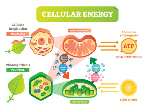 Animal and plant cell energy cycle vector illustration diagram with mitochondrion and chloroplast.