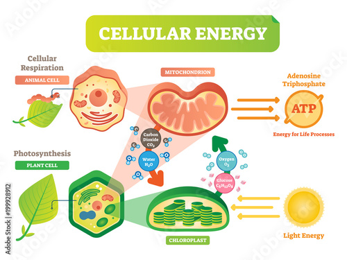 Animal and plant cell energy cycle vector illustration diagram with animal and plant cell energy cycle vector illustration diagram with mitochondrion and chloroplast ccuart Gallery