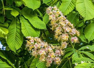 Blossoming chestnut  tree by early spring, Europe