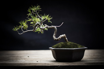 Photo sur Aluminium Bonsai Japan white pine bonsai
