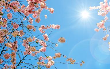 Wall Mural - Glückwunsch, alles Liebe: Zarte, duftende, verträumte Kirschblüten vor blauem Frühlingshimmel :)