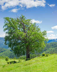 Carpathian landscape with the solitary beech at summer day