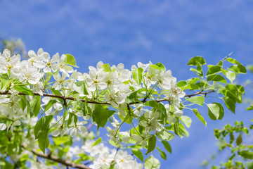 Flowering branch of pear tree on a blurred background