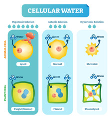 Cellular water levels biological vector illustration diagram with animal and plant cell.