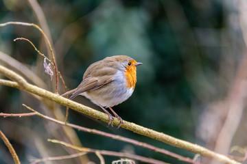 European Robin over a tree