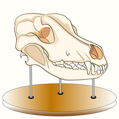 Skull of the dog on the stand. Anatomy, an exhibit of the museum. The head of a wolf. On a white background