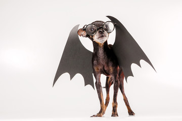 The dog is wearing glasses. Black wings are dressed in a dog. Suit with wings for animals. Professor of black magic. A vampire with wings.