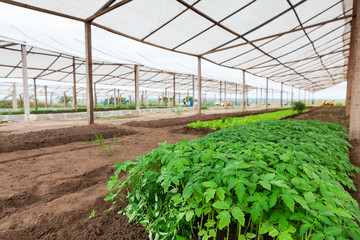 Inside view of greenhouse with plantation.
