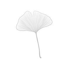Ginko leaf line drawing on white background