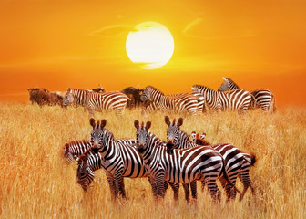 Group of african zebras at sunset in the Serengeti National Park. Africa. Tanzania. Artistic african natural image. Wall mural
