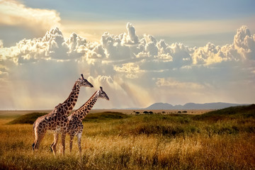 Canvas Prints Giraffe Group of giraffes in the Serengeti National Park. Sunset background. Sky with rays of light in the African savannah. Beautiful african cloudscape.