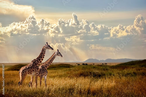 Wall mural Group of giraffes in the Serengeti National Park. Sunset background. Sky with rays of light in the African savannah. Beautiful african cloudscape.