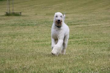 irish wolfhound iis running in the garden