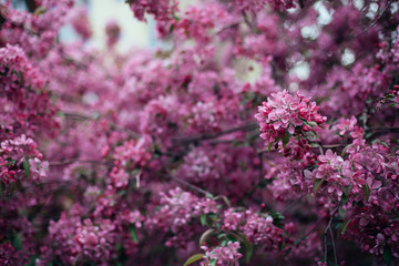 Vivid color of Cherry Blossom or pink Sakura flower on blue sky