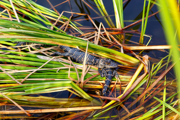 American baby alligators in Florida Wetland. Everglades National Park in USA. Little gators.