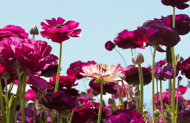 Field of magenta and purple ranuculus