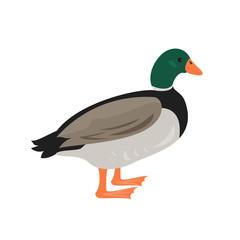Cartoon duck icon on white background.