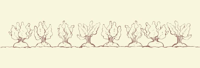 Beet. Vector drawing