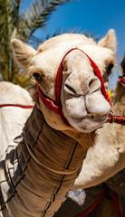Close-up of camel looking at camera