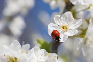 Ladybug on flower of blossoming fruit tree. Red Ladybird. Close up