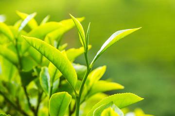 Leaf of tea on a tea plantation, Ceylon