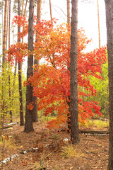 A tree with red leaves, stands alone in the forest.