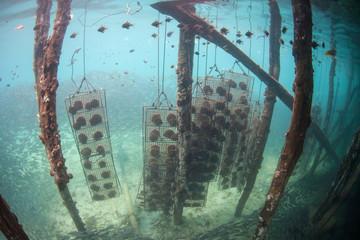 Pearl Oysters Hang Under Pearl Farm Pier in Raja Ampat
