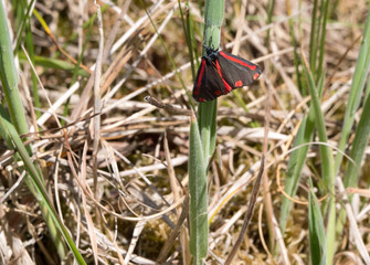 Cinnabar moth or Tyria jacobaeae resting