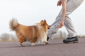 human trains jumps over legs with a shetland sheepdog